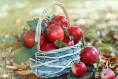 Äpfel in einem Korb Apple ernten Apple-Hintergrund Stockfotos