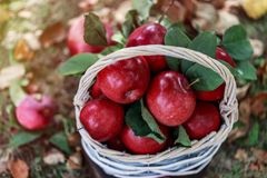 Äpfel in einem Korb Apple ernten Apple-Hintergrund Lizenzfreie Stockfotografie