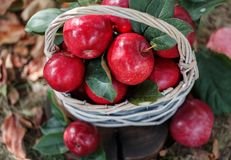 Äpfel in einem Korb Apple ernten Apple-Hintergrund Stockbild