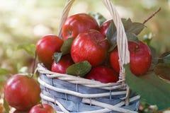 Äpfel in einem Korb Apple ernten Apple-Hintergrund Lizenzfreies Stockfoto