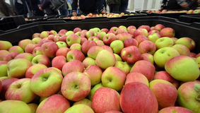 Äpfel in einem Speicherfach Lizenzfreie Stockfotografie