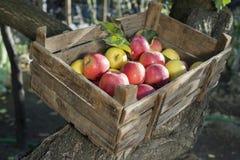 Äpfel in einer alten hölzernen Kiste auf Baum lizenzfreies stockfoto