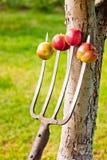 Äpfel festgenagelt auf den Gabeln Lizenzfreies Stockfoto