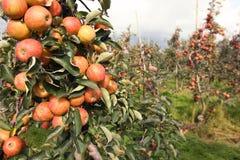 Äpfel im Apfelobstgarten Stockbilder
