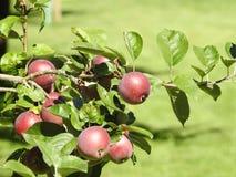 Äpfel im Baum Lizenzfreie Stockfotos