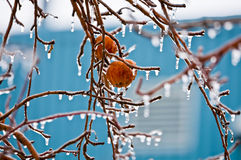 Äpfel im Eisregen - 02 Stockbilder