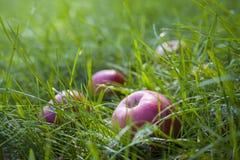 Äpfel im Gras Stockfoto