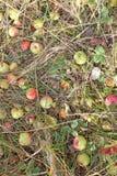 Äpfel im Gras Stockfotografie