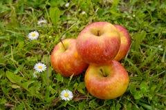 Äpfel im Gras mit Gänseblümchen Stockfoto