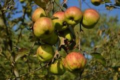 Äpfel im Heimatstadtgarten Stockbild