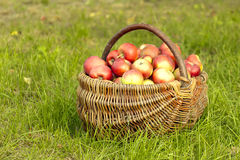 Äpfel im Korb Lizenzfreie Stockfotos