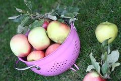 Äpfel im rosafarbenen Sieb Lizenzfreies Stockbild