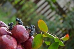 Äpfel mit einem Zweig von ashberry lizenzfreie stockfotos