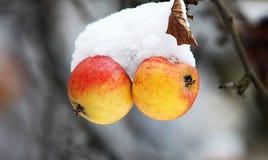 Äpfel mit Schnee Lizenzfreies Stockfoto