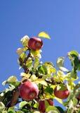 Äpfel oben Stockfoto