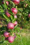 Äpfel und Apfelbäume Stockbild