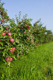 Äpfel und Apfelbäume Stockfoto