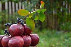 Äpfel und ein ashberry Zweig stockfoto
