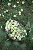 Äpfel unter dem Baum, Draufsicht Lizenzfreie Stockfotografie
