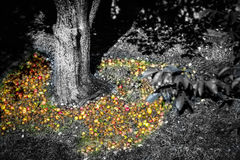 Äpfel unter einem Baum Stockfoto