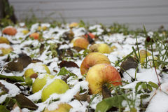 Äpfel unter Schnee Stockbild