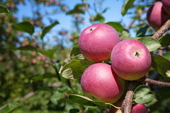 äppleäpplefilialen bär fruktt leavesfruktträdgården Royaltyfri Bild