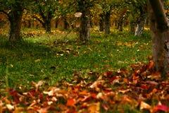 äppleäpplefilialen bär fruktt leavesfruktträdgården Fotografering för Bildbyråer