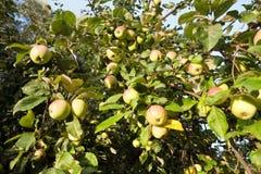 äppleäpplefilialen bär fruktt leavesfruktträdgården Royaltyfri Fotografi