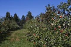 äppleäpplen field den fulla fruktträdgården Arkivfoto