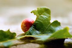 Äpple för röd ek för detalj med det gröna bladet Fotografering för Bildbyråer