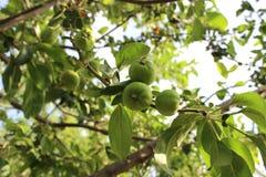 äpple - grön tree Royaltyfria Bilder