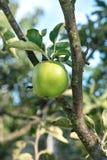 äpple - grön tree Arkivbild