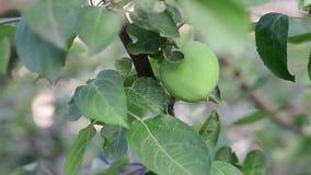 äpple - grön tree Trädgårds- bakgrunder Vindrörelse arkivfilmer