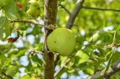 äpple - grönt organiskt Arkivfoton