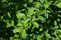 äpple - green låter vara treen Ung lövverk i vår arkivfoto