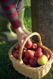 Äpple-i-en-korg Arkivbild