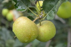 äpple indonesia Arkivfoton