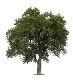 äpple isolerad tree Royaltyfri Bild