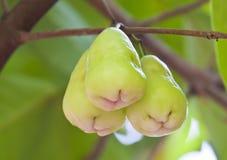 äpple - rose tree för green Arkivfoton