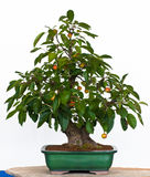 äpple som bonsaitree Arkivbild