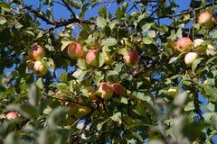äpple tre Fotografering för Bildbyråer