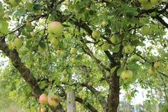 äpple tre Arkivfoto