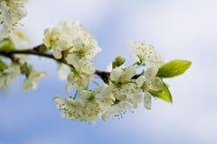 Äpple-tree blomma 1 Arkivfoto