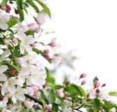 äpplebakgrundsblomningar Royaltyfria Foton