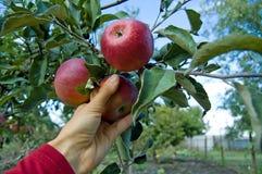Äppleberättelse royaltyfria foton