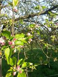 äppleblom blomstrar filialfjädertreen Arkivbild