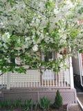 äppleblom blomstrar filialfjädertreen Royaltyfria Bilder