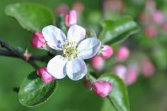 äppleblom blomstrar filialfjädertreen Royaltyfri Fotografi