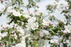 äppleblom blomstrar filialfjädertreen Arkivbilder