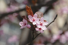 äppleblommor arkivbild